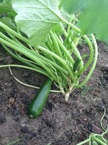 Zucchini Growing in My Garden